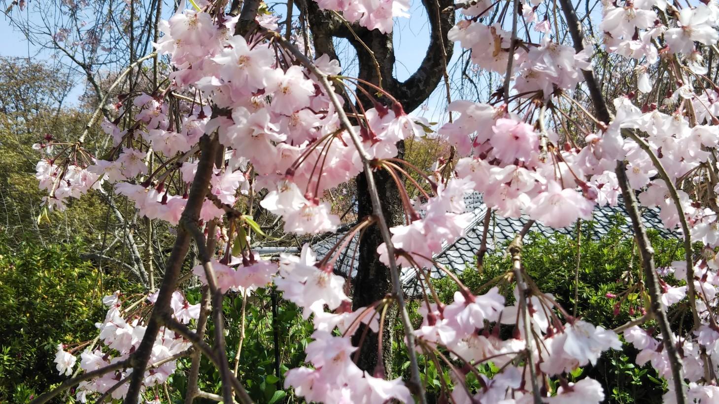 桜を目に焼き付ける